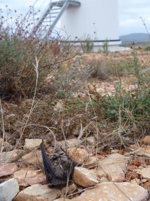 Cadavre de Noctule de Leisler sous une éolienne du Causse d'Aumelas