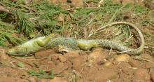 Photo lezard ocelle mort sur le chantier